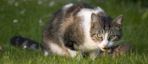 Voer voor katten