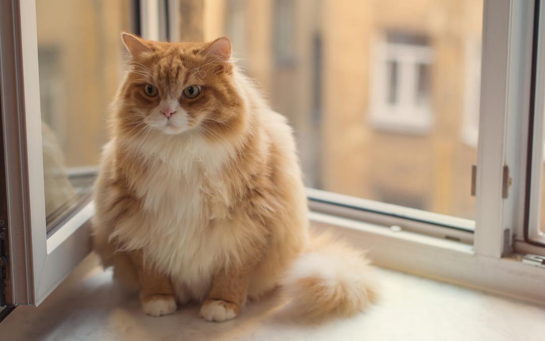 Waarom wordt een kat dik van het eten van droogvoer?